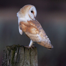 Barn Owl perched on a post