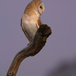 Barn Owl perched on a dead tree branch