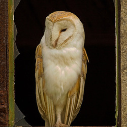 Barn Owl perched in the window