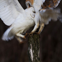 Barn Owls Fighting