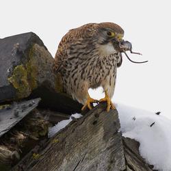 Kestrel eating a mouse