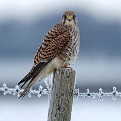 Kestrel Perches on Post