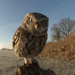 Litle Owl