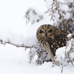 Short Eared Owl in the snow