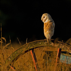 Barn Owl on a wheel