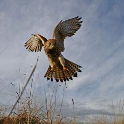 Kestrel Flying