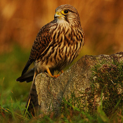 Kestrel perched on a rock