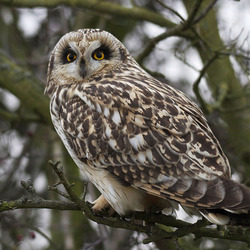Short Eared Owl perched in a tree