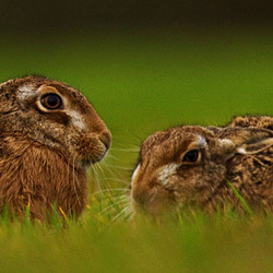 Brown Hares in the grass