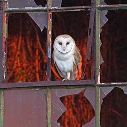 Barn Owl perched in a window