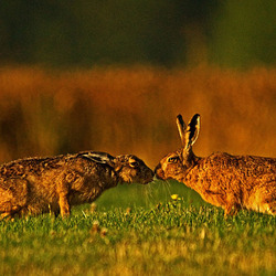 Brown Hares kissing