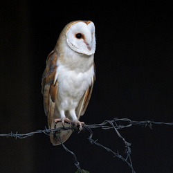Barn Owl Perched on barbed wire