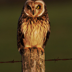 Short Eared Owl perched on a post