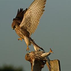 Two kestrels fighting