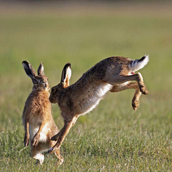 Hares jumping
