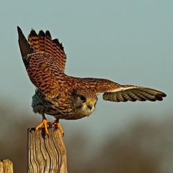 Kestrel perched on a post