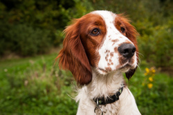 Ozzy the Welsh Springer portfolio