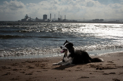 Jed the Collie at Seaton Carew Beach portfolio