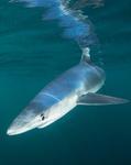 Blue Sharks portfolio
