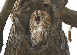 Tawny Owl portfolio
