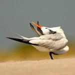 Terns, Gulls & Other Seabirds portfolio
