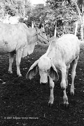 Brahman Bulls portfolio