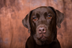 Bailey the Chocolate Labrador portfolio
