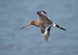 Black-tailed Godwit portfolio