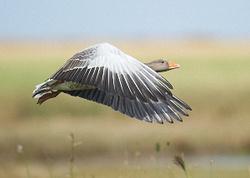 Greylag Goose portfolio