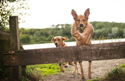Parker and Penny the Labradors, at Herrington Country Park portfolio