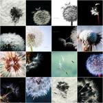 Dandelion Beauty | Nahaufnahme Loewenzahn portfolio