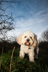 Max, the Cavichon portfolio