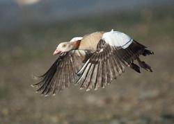 Egyptian Goose portfolio