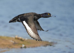 Tufted Duck portfolio