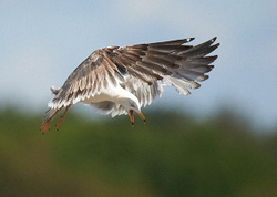 Lesser Black-backed Gull portfolio