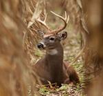 Whitetail Deer portfolio