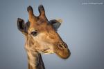 Giraffe portfolio