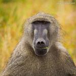 Baboon portfolio