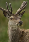 THE DEER GALLERY. Extensive collection for Red and Fallow Deer portfolio