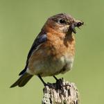 Songbirds & Perching Birds portfolio