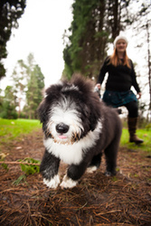 Swale the Bearded Collie Puppy portfolio