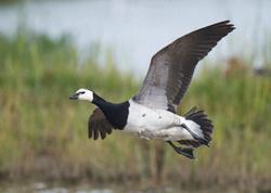 Barnacle Goose portfolio