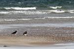 Coastal Birds portfolio