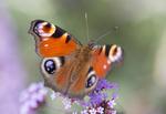 BUTTERFLIES, DRAGONFLIES & MACRO IMAGES portfolio