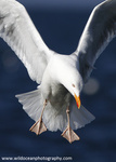 Gulls and Kittiwakes portfolio