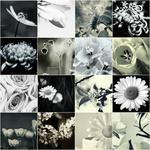 Black and White Flowers | Blumen Schwarz Weiss portfolio