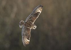 Short-eared Owl portfolio