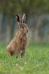Brown Hare portfolio