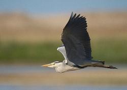 Grey Heron portfolio