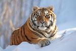 Tigers portfolio